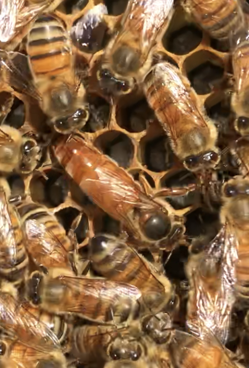 Tennessee's Honey Bees